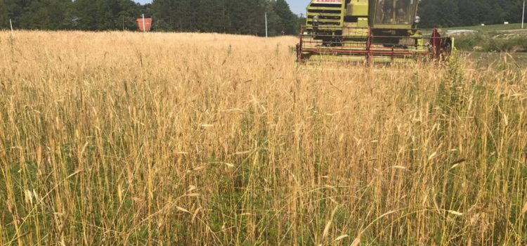 Einkorn Fields Are Harvested